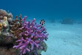 coral reef with violet hood coral end exotic fish on the bottom of red sea