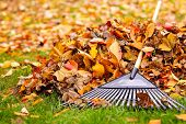 picture of october  - Pile of fall leaves with fan rake on lawn - JPG