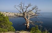 Dead pine over the sea.
