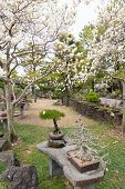 picture of japanese magnolia  - bonsai tree on white magnolia background at Hallim Park of Jeju island Korea - JPG