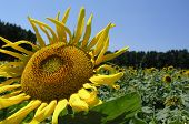 Sunflower In A Sunflower Field
