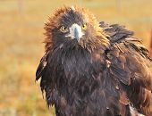 stock photo of northern hemisphere  - The Golden Eagle  - JPG