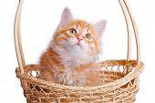 Small kitten in straw basket.