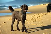 Labradoodle With A Ball