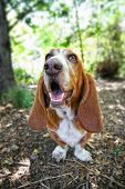 a basset hound barking or howling in a park