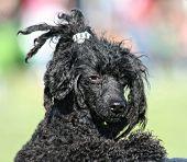 a pretty poodle