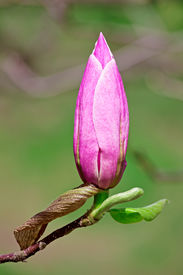 stock photo of saucer magnolia  - Pink magnolia flower bud closeup shot with shallow depth of field - JPG