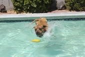 Brown dog diving into the pool for his toy
