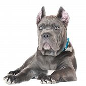blue cane corso puppy on white