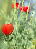 Red Poppy In A Dense Green Grass