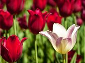 White Tulip And Red Tulips
