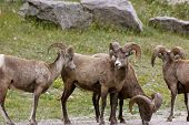 Bighorn Sheep group