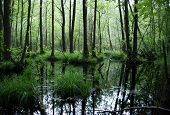 foto of swamps  - swamp in the dark forest  - JPG