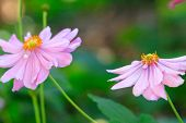 Постер, плакат: Beautiful Soft Pink Aster With Yellow Centre Sway In The Breeze