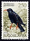 Postage Stamp Yugoslavia 1972 Red-billed Chough, Bird In Crow Fa