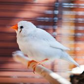 White Cut-throat Finch Bird