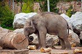 Elephant And Log