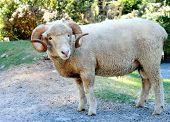 Ram (ovis Aries)