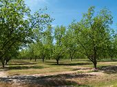 pic of pecan tree  - Mature pecan grove budding with new leaves in south Georgia during springtime - JPG
