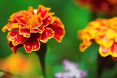 stock photo of marigold  - Beautiful close - JPG