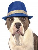 American Staffordshire Terrier With A Hat