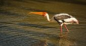 Painted stork drinking water