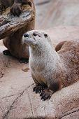Streching Otter