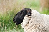 image of suffolk sheep  - Head and shoulder of a Suffolk sheep showing dense wool - JPG