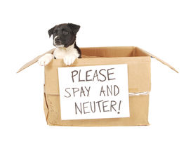 image of spayed  - A puppy in a cardboard box with a  - JPG