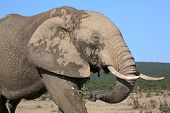 stock photo of tusks  - Africam elephant with large tusks and holding leaves in it - JPG