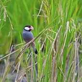 stock photo of java sparrow  - Colorful Java Sparrow bird  - JPG