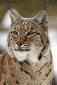 foto of bobcat  - Bobcat in the woods in winter estes - JPG