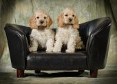 cute puppies - american cocker spaniel puppies sitting on a leather couch on green background - 8 we