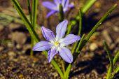 Flower Blue Scilla