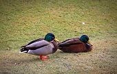 Two Male Mallard Ducks In The Park