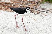 Black Necked Stilt (himantopus Mexicanus)