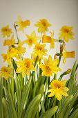 Beautiful Yellow Daffodils flowers
