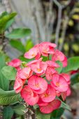 Pink Euphorbia Flowers