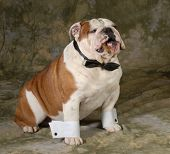 dog smoking cigar on green background - english bulldog