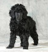 picture of standard poodle  - standard poodle puppy standing on green background  - JPG