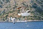 Sea Gull Flying