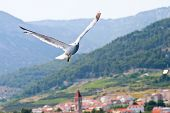 Croatian Sea Gull Flying