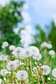 Dandelions And Sky