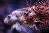 Pterois Volitans, Tropical Fish
