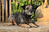 picture of border terrier  - Border terrier bitch lying in the garden - JPG
