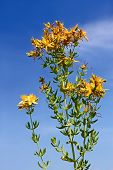 Flowering Hypericum Plant