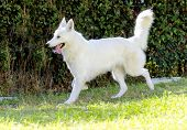 picture of shepherd dog  - A young beautiful Berger Blanc Suisse dog running on the grass - JPG