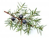 picture of juniper-tree  - Juniper twig with berries - JPG
