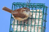 Carolina Wren On A Suet Feeder