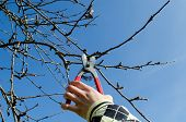 Hand Hold Secateur Pruning The Apple Tree Branches